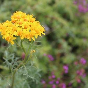 Jacobaea vulgaris Gaertn. [nn102852] par Fleur DAUGEY le 01/07/2017 - Mont Caroux, 34610 Rosis, France