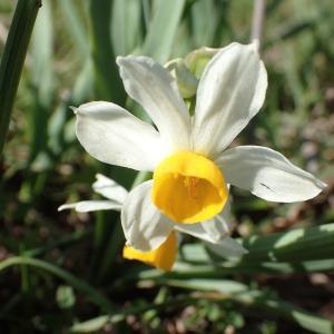 Photographie n°2148129 du taxon Narcissus tazetta L.