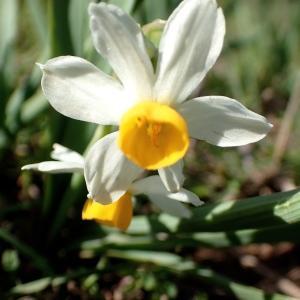Photographie n°2148130 du taxon Narcissus tazetta L.