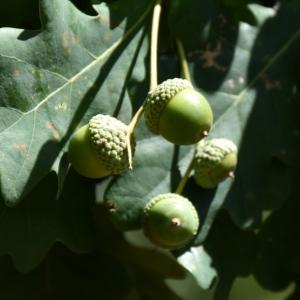 Photographie n°2148339 du taxon Quercus robur L. [1753]