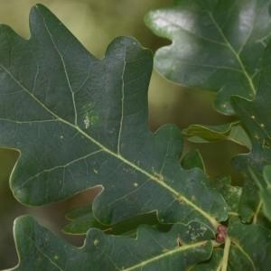 Photographie n°2148340 du taxon Quercus robur L. [1753]