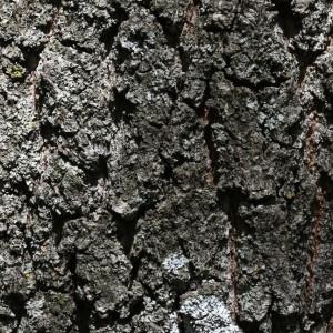 Photographie n°2148341 du taxon Quercus robur L. [1753]