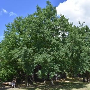 Photographie n°2148343 du taxon Quercus robur L. [1753]