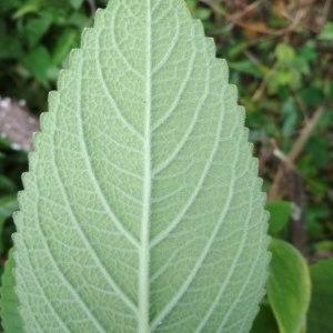 - Plectranthus amboinicus (Lour.) Spreng.