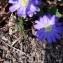 Denise DE LASSAT - Anemone blanda Schott & Kotschy