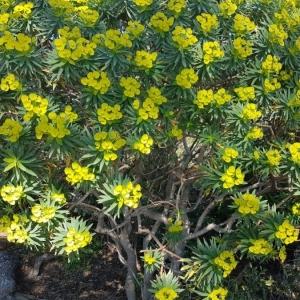 Photographie n°2149658 du taxon Euphorbia dendroides L. [1753]