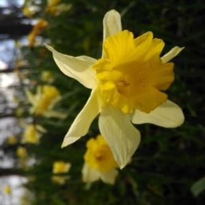 Photographie n°2149692 du taxon Narcissus pseudonarcissus L. [1753]