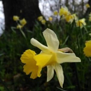 Photographie n°2149693 du taxon Narcissus pseudonarcissus L. [1753]
