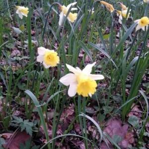 Photographie n°2149694 du taxon Narcissus pseudonarcissus L. [1753]