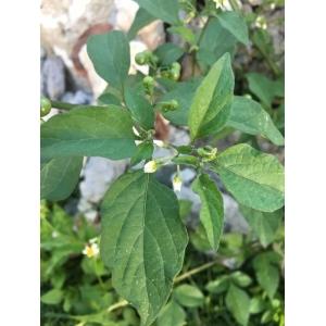 Solanum americanum Mill. (Agouman)