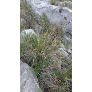 Distichlis spicata (L.) Greene (Alkali Saltgrass)
