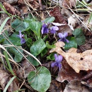 Photographie n°2150567 du taxon Viola hirta L. [1753]