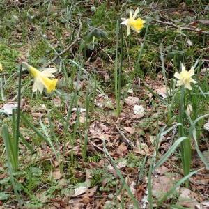 Photographie n°2150620 du taxon Narcissus pseudonarcissus L. [1753]