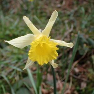 Photographie n°2150622 du taxon Narcissus pseudonarcissus L. [1753]