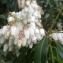 Liliane Roubaudi - Pieris japonica (Thunb.) D.Don ex G.Don