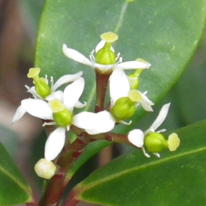 Photographie n°2151286 du taxon Skimmia japonica Thunb. [1783]