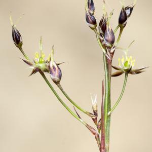 Photographie n°2151444 du taxon Luzula forsteri (Sm.) DC.