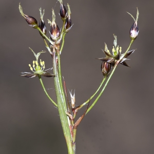 Photographie n°2151445 du taxon Luzula forsteri (Sm.) DC.
