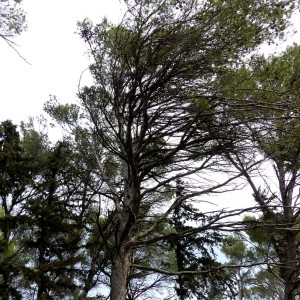 Photographie n°2151491 du taxon Pinus halepensis Mill. [1768]