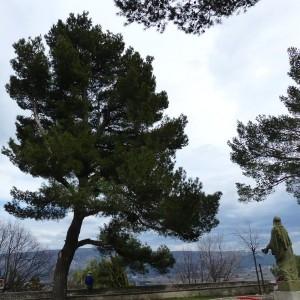 Photographie n°2151493 du taxon Pinus halepensis Mill. [1768]