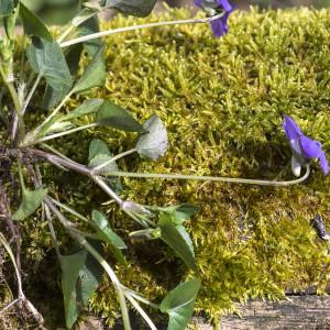 Photographie n°2151513 du taxon Viola riviniana Rchb.