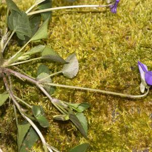 Photographie n°2151514 du taxon Viola riviniana Rchb.