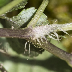 Photographie n°2151515 du taxon Viola riviniana Rchb.