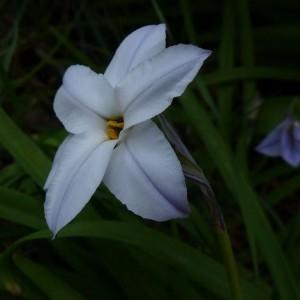 Photographie n°2151530 du taxon Tristagma uniflorum (Lindl.) Traub
