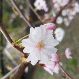 - Prunus subhirtella Miq.
