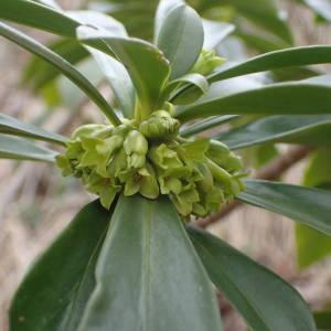 Photographie n°2152165 du taxon Daphne laureola L. [1753]