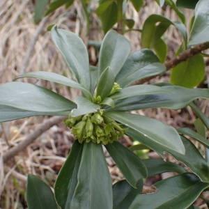 Photographie n°2152166 du taxon Daphne laureola L. [1753]