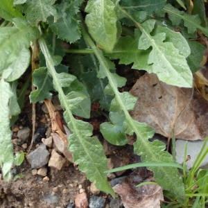 Photographie n°2152199 du taxon Capsella bursa-pastoris (L.) Medik.