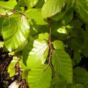 Photographie n°2152211 du taxon Fagus sylvatica L.