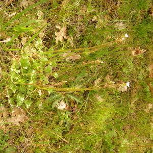 Photographie n°2152783 du taxon Saxifraga granulata L.