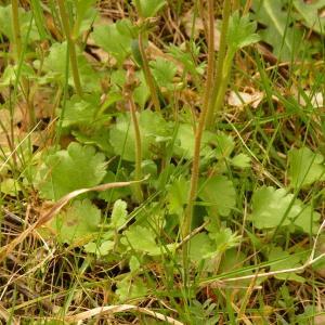 Photographie n°2152785 du taxon Saxifraga granulata L.