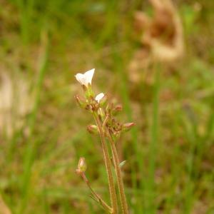 Photographie n°2152786 du taxon Saxifraga granulata L.