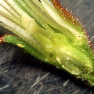 Photographie n°2152789 du taxon Saxifraga granulata L.