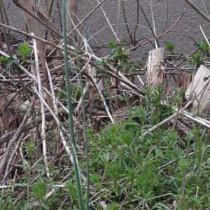 Photographie n°2152814 du taxon Allium schoenoprasum L.