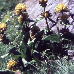 Photographie n°2152821 du taxon Gentiana punctata L. [1753]