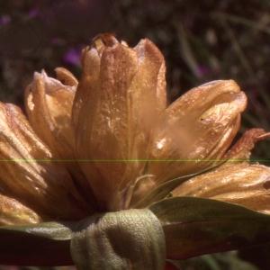 Photographie n°2152833 du taxon Gentiana punctata L.