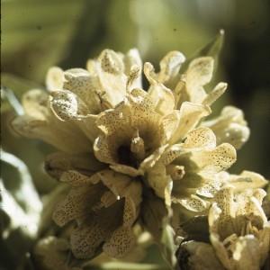 Photographie n°2152835 du taxon Gentiana punctata L. [1753]