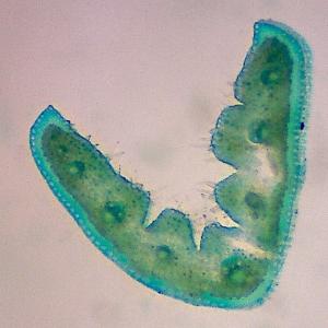 Photographie n°2153212 du taxon Festuca lemanii Bastard [1809]