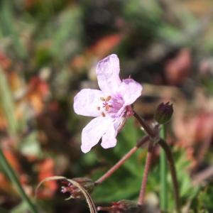 Photographie n°2153401 du taxon Erodium moschatum (L.) L'Hér. [1789]