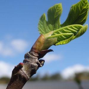 - Ficus carica L. [1753]