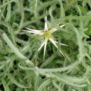 Photographie n°2153505 du taxon Centaurea calcitrapa L. [1753]