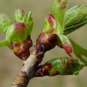 Photographie n°2153947 du taxon Prunus L.
