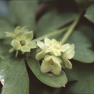 Photographie n°2153998 du taxon Adoxa moschatellina L. [1753]