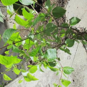 Photographie n°2154060 du taxon Prunus mahaleb L.