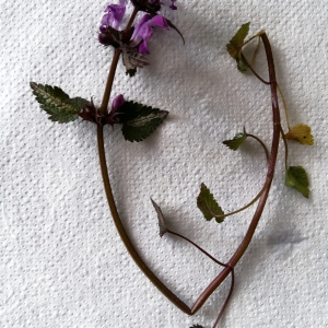 Photographie n°2154291 du taxon Lamium maculatum (L.) L. [1763]