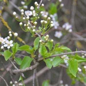 Photographie n°2154374 du taxon Prunus mahaleb L.